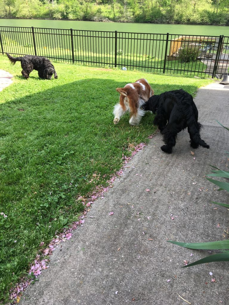 This is a pic of three dogs playing in the customer's backyard.